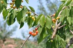 Unripe cherry. Close up of unripe cherry stock images