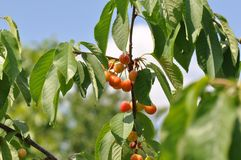 Unripe cherry. Close up of unripe cherry royalty free stock images