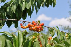Unripe cherry. Close up of unripe cherry royalty free stock photos