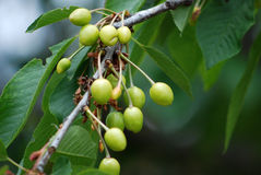 Unripe cherry Royalty Free Stock Images