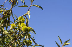 Unripe chestnuts hanging tree shade with green leaves and a blue. Clear sky in sardinia Royalty Free Stock Photos