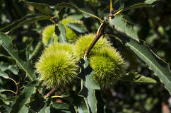 unripe chestnuts hanging tree shade of green leaves Royalty Free Stock Images