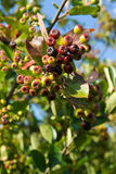 Unripe chokeberries (Aronia) bunches Royalty Free Stock Photos