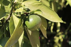 Unripe Citrus Fruit. An unripe citrus fruit hanging from a branch growing in a Mediterranean climate Stock Photos