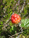 Unripe cloudberry & x28;Rubus chamaemorus& x29; on a mire. Royalty Free Stock Images