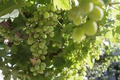Unripe cluster of green grapes in vine arbor Stock Photo