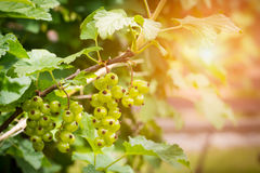 Unripe clusters of redcurrants Royalty Free Stock Photography