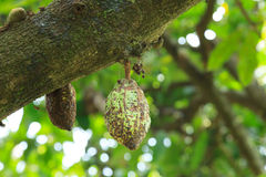 Unripe Cocoa Pod on Tree Stock Images