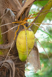 An unripe coconut on a coconut palm, Senegal Royalty Free Stock Photo
