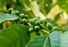Unripe coffee beans . Royalty Free Stock Image