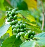 Unripe coffee beans . Royalty Free Stock Photos