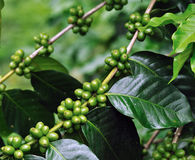 Unripe coffee beans Stock Photos