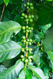 Unripe coffee beans on the branch Royalty Free Stock Photo