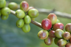 Unripe coffee beans. Close up of unripe coffee beans Stock Photo