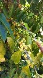 Unripe coffee beans on coffee bush royalty free stock photos
