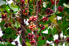 Unripe coffee beans on coffee tree in garden at Bolaven Plateau. In Paksong, Champasak, Laos Royalty Free Stock Image