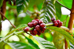 Unripe coffee beans on coffee tree in garden at Bolaven Plateau. In Paksong, Champasak, Laos Stock Photo