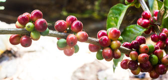 Unripe coffee beans on the coffee tree Stock Photography