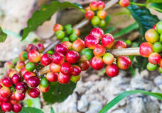 Unripe coffee beans on the coffee tree Royalty Free Stock Images