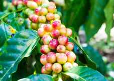 Unripe coffee beans on the coffee tree Royalty Free Stock Photography