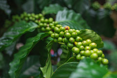 Unripe coffee beans growing on the branch. Selective Focus. Stock Photo