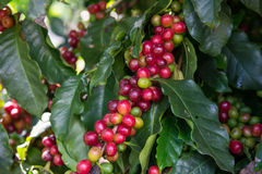 Unripe Coffee beans  on tree. The Unripe Coffee beans on tree Royalty Free Stock Photo