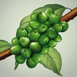 Unripe coffee beans Royalty Free Stock Photo