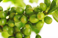 Unripe coffee beans Stock Images