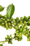 Unripe coffee beans Royalty Free Stock Photography