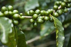 Unripe Coffee Berries Royalty Free Stock Photos