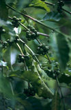 Unripe coffee on tree branch Stock Photos