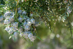 Unripe cones or seeds on the branch of cypress Stock Photos