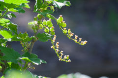 Unripe currant on branch Stock Photos