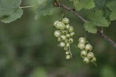 Green currant stock photography