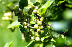 Unripe currant Royalty Free Stock Photo