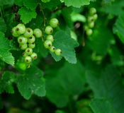 Unripe currants Royalty Free Stock Image