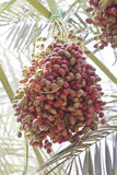 Unripe dates. On palm tree Stock Photography