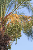 Unripe dates on a date palm tree Royalty Free Stock Photos
