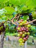 Unripe druvor i en vingård Royaltyfri Bild