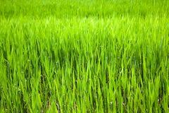 Unripe ear of barley Stock Photography