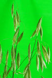 An Unripe Ear of Oats in Close Up Stock Photo