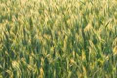 Unripe ears of wheat Royalty Free Stock Photography