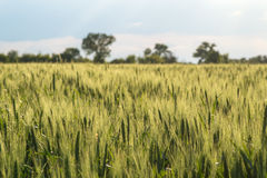 Unripe ears of wheat on the field Stock Images