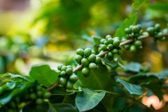 Unripe excelsa coffee beans on tree in farm.  Royalty Free Stock Photos