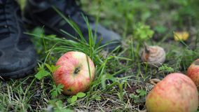 Unripe fallen apples on the ground in a garden next to human feet, closeup stock photography