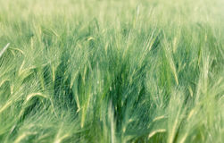 Unripe field of agricultural crops wheat, oat, rye, barley Stock Image