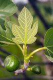 Unripe fig Royalty Free Stock Photography