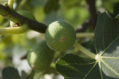 Unripe fig fruit Royalty Free Stock Photography