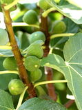 Unripe figs on branch Royalty Free Stock Image