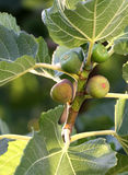 Unripe figs and  leaves on the branch Stock Photos
